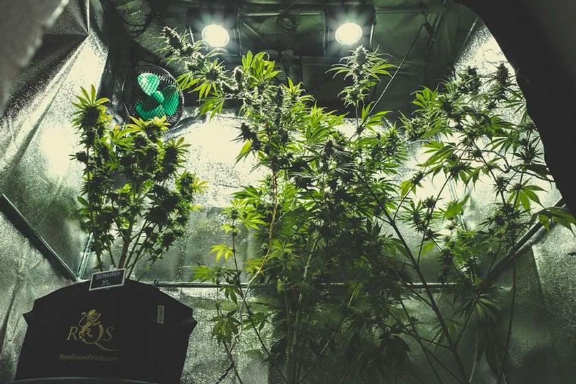 Cultiver le cannabis à l\'intérieur - RQS Blog